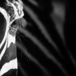 Baerbel Brechtel - Zebra
