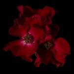 Ruediger Theiss - Rose