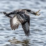 Frank Spiegel - Pied Kingfisher