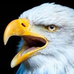 Bärbel Brechtel - Weißkopfseeadler