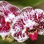 Heiner Ott - Orchidee