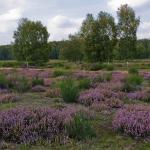 Marianne Schlüter - Die Heide blüht
