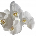 regra_02_weisse_orchideen_tn