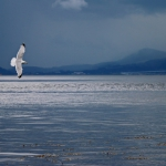 a1-axb_01_seagull