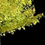 Green Leaves - Gerhard Stoefer