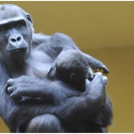 Gorillas - Gerhard Stoefer