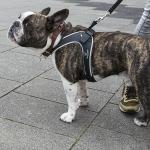 Französ. Bulldogge