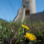 Löwenzahn-Festung - Ralf Sonn