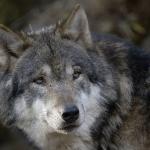 jh_2_bergwolf
