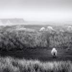 2016_02_01-05a-BBr-1-Schafe auf dem Ellbogen